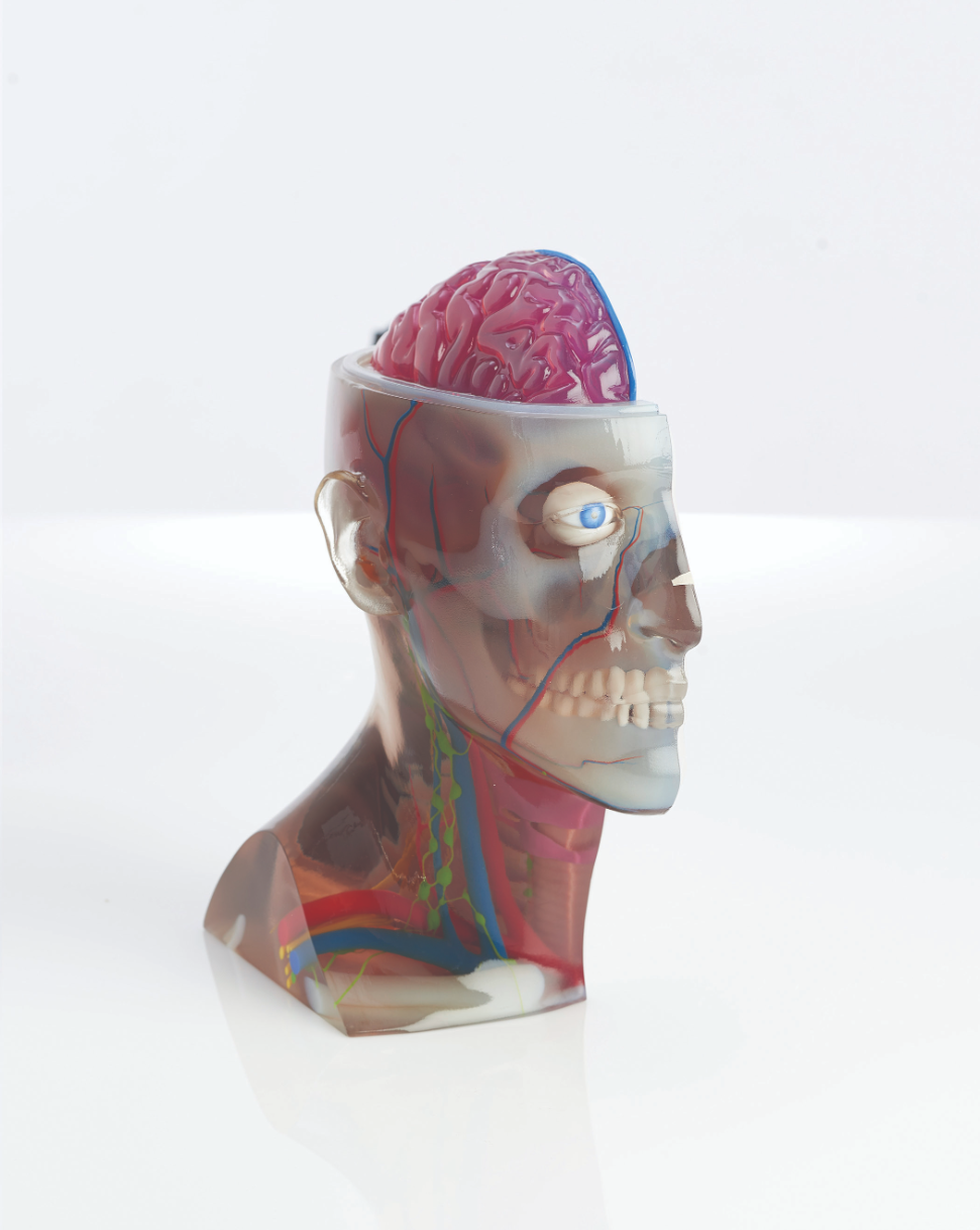The head and brain model uses transparent materials to reveal internal tissues.